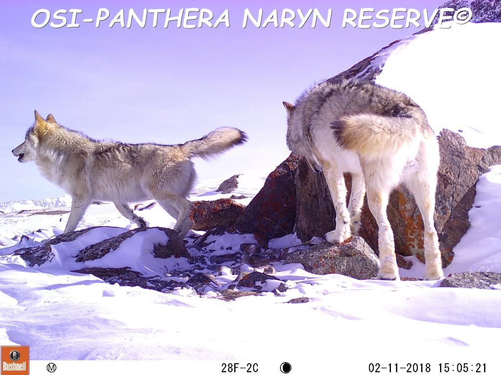 Loup gris, marquage olfactif